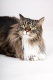 Gato de coon principal Imagenes de archivo