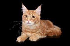 Gato de Coon principal Imágenes de archivo libres de regalías