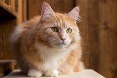 Gato de Coon rojo de Maine   Foto de archivo
