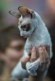 Gato de Cornualles de Rex fotografía de archivo libre de regalías