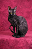 Gato de Cornualles de Rex Fotografía de archivo