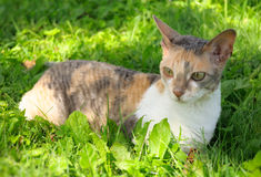 Gato de Cornualles de Rex en hierba verde Fotos de archivo libres de regalías