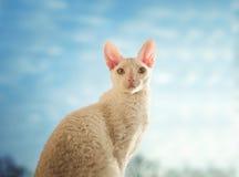 Gato de Cornualles de Rex que mira derecho Fotografía de archivo libre de regalías