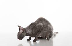 Gato de Cornualles oscuro de Rex que se sienta en la tabla blanca con la reflexión Fondo blanco Mirada abajo Abra la boca, lengua Imagen de archivo libre de regalías
