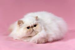 Gato de creme persa do ponto Foto de Stock Royalty Free