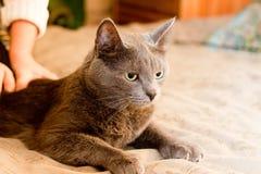 Gato de Crey Imagens de Stock
