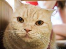 Gato de Cymric Foto de archivo