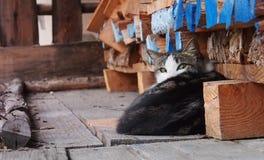 Gato de descanso que olha o fotógrafo Imagens de Stock Royalty Free