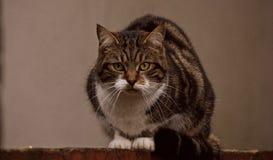 Gato de desengaço Foto de Stock Royalty Free