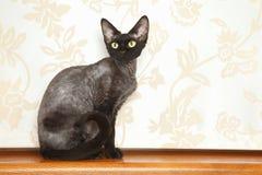 Gato de Devon Rex Fotos de archivo libres de regalías