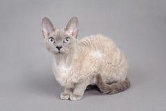 Gato de Devon Rex Foto de archivo libre de regalías