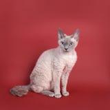 Gato de Devon Rex Fotografía de archivo libre de regalías