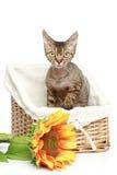 Gato de Devon Rex en cesta Imagenes de archivo