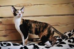 Gato de Devon Rex en el fondo de madera Imagen de archivo
