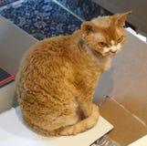 Gato de Devon Rex que se sienta en una caja Imagen de archivo