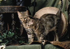 Gato de dois sokoke Fotos de Stock