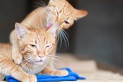 Gato de dos jengibres que juega junto fotografía de archivo libre de regalías