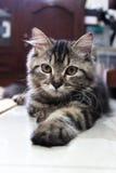 Gato de Exspression Fotografía de archivo libre de regalías