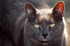 Gato de fala Foto de Stock