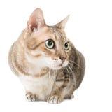 Gato de gato atigrado Fotos de archivo