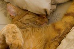 Gato de gato atigrado anaranjado borracho con su cabeza en las almohadas Imagen de archivo