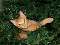 Gato de gato atigrado anaranjado cogido en un árbol de navidad Imagen de archivo libre de regalías