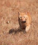 Gato de gato atigrado anaranjado que caza un saltamontes en vuelo Foto de archivo libre de regalías