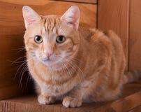 Gato de gato atigrado anaranjado que descansa sobre pasos de madera Fotos de archivo