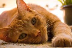Gato de gato atigrado anaranjado que gandulea en el piso Imagen de archivo libre de regalías