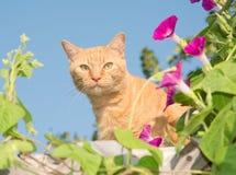 Gato de gato atigrado anaranjado que mira a escondidas hacia fuera del centro de flores Fotografía de archivo libre de regalías