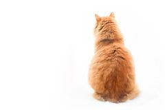 Gato de gato atigrado anaranjado que se sienta en el fondo blanco Foto de archivo