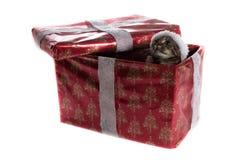 Gato de gato atigrado con el sombrero de la Navidad dentro de una actual caja Fotografía de archivo libre de regalías
