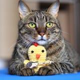 Gato de gato atigrado con un juguete Imagen de archivo libre de regalías