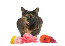Gato de gato atigrado de Tortie con las flores aisladas en blanco foto de archivo