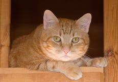 Gato de gato atigrado del jengibre que descansa sobre una escalera de madera rústica, Imagen de archivo libre de regalías