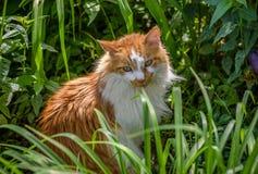 Gato de gato atigrado del varón adulto que pone en jardín afuera en luz del sol Foto de archivo