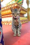 Gato de gato atigrado en el templo budista Fotografía de archivo libre de regalías