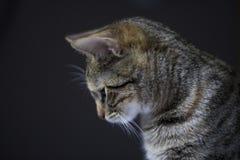 Gato de gato atigrado en fondo negro Imagen de archivo
