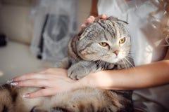 Gato de gato atigrado en las manos del día de boda del ` s de la novia Imágenes de archivo libres de regalías