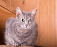Gato de gato atigrado en pasos de madera rústicos Imagen de archivo