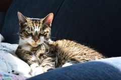 Gato de gato atigrado en sol Fotografía de archivo libre de regalías