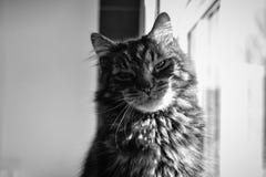 Gato de gato atigrado feliz que mira la cámara en blanco y negro fotos de archivo libres de regalías