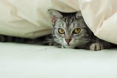 Gato de gato atigrado gris joven que oculta en edredón Fotos de archivo libres de regalías