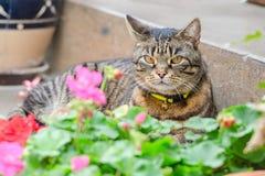 Gato de gato atigrado gris que miente en la calle en los pasos del por de la casa Fotografía de archivo
