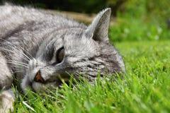 Gato de gato atigrado gris que miente en la hierba Imagen de archivo libre de regalías