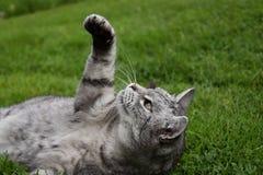 Gato de gato atigrado gris que miente en la hierba y levantado una pata Imágenes de archivo libres de regalías