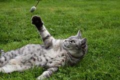 Gato de gato atigrado gris que miente en la hierba y levantado una pata y una amapola de las capturas Imágenes de archivo libres de regalías