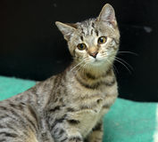 Gato de gato atigrado joven Imagenes de archivo