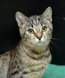 Gato de gato atigrado joven Imagen de archivo