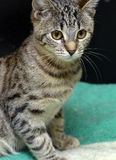 Gato de gato atigrado joven Foto de archivo libre de regalías